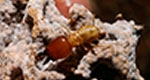 Termites Can Aid in Keeping Desertification at Bay