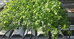 Room for Growth: Princeton's Vertical Farming Project harvests knowledge for a budding industry