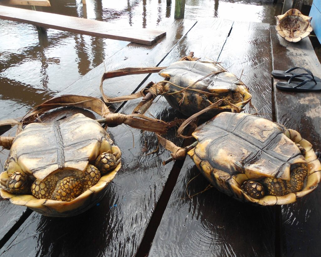Photo of turtles overturned on a dock.