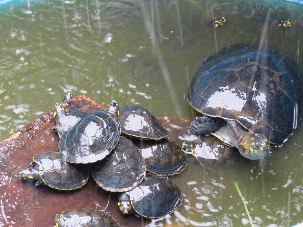 Photo of wild turtles in natural water.