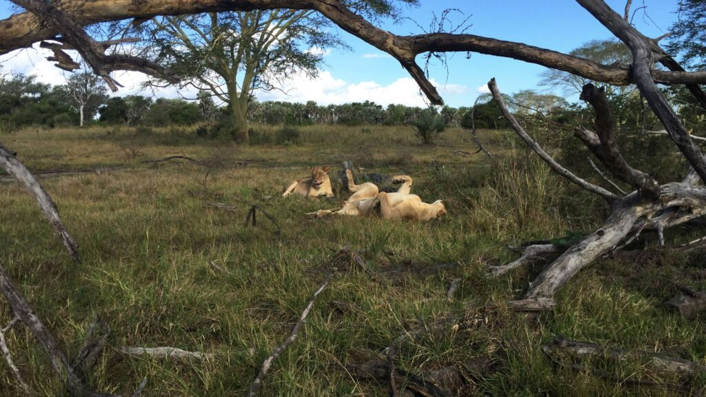 Lionesses rolling in the grass on a savanna