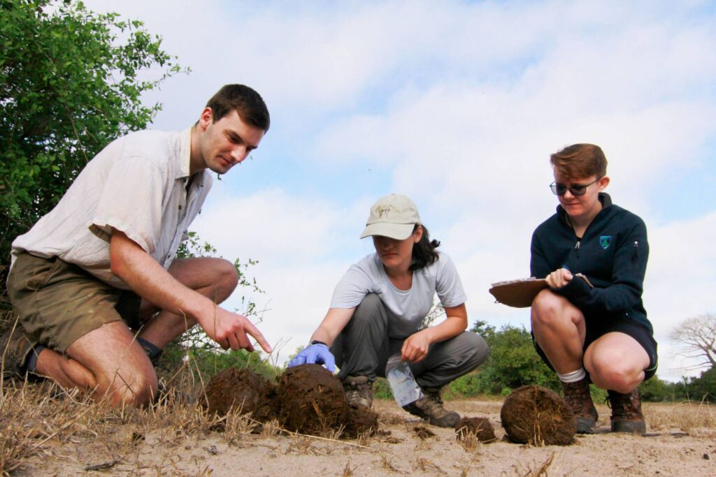 Three researchers kneeling over dung on a savanna