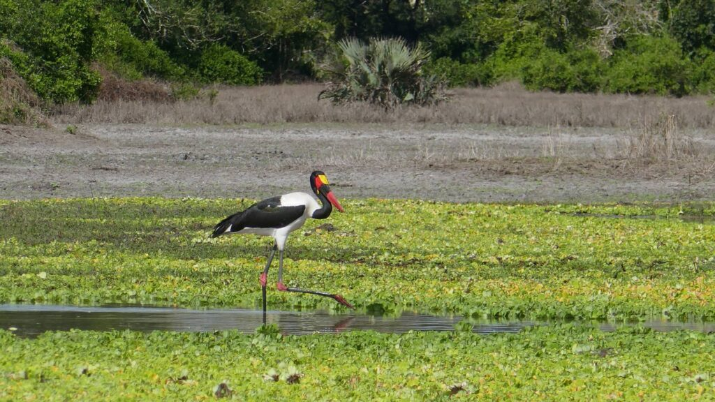 Saddle-billed stork looking for catfish in a waterhole.