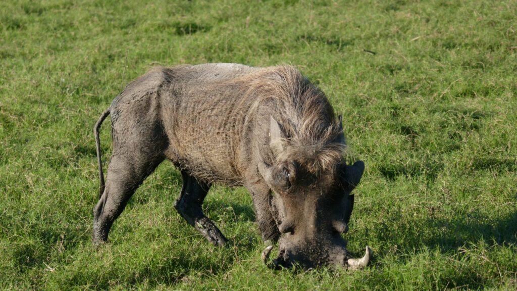 Warthog grazing on grass in a savanna.