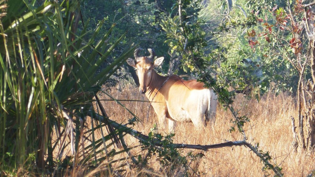 Hartebeest standing among trees and grass