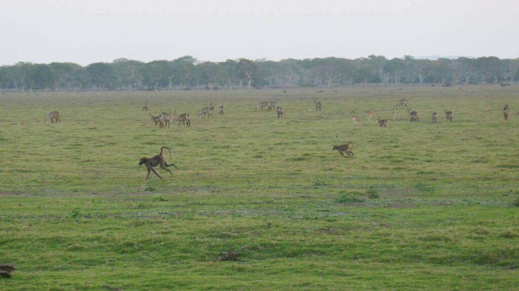 Baboons running across a savanna