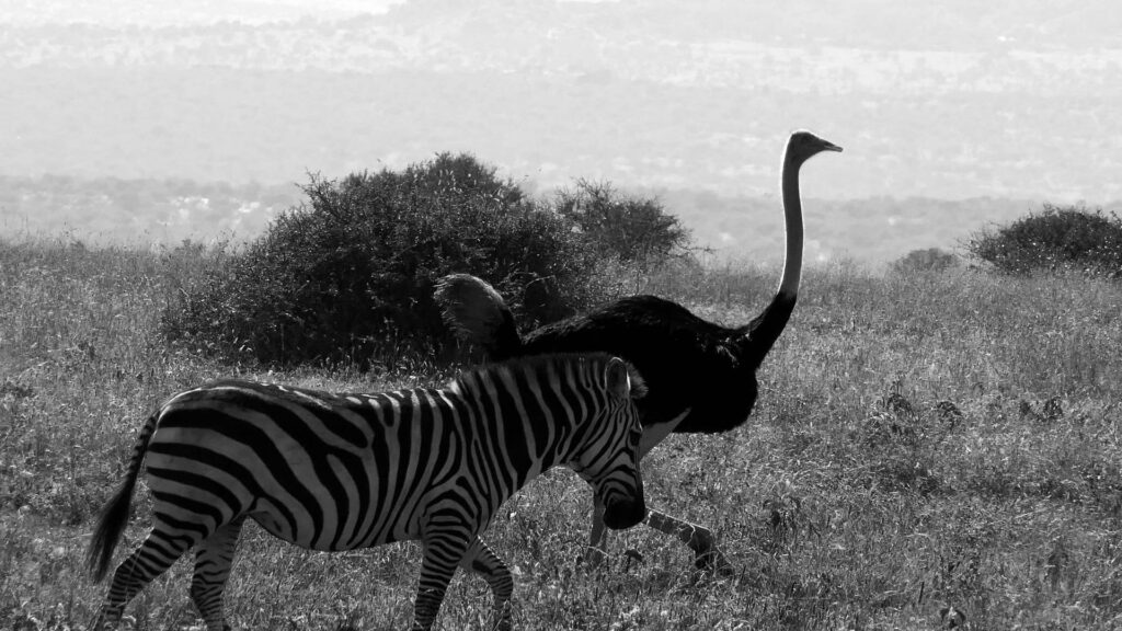 Black-and-white photo of a zebra and ostrich on a savanna