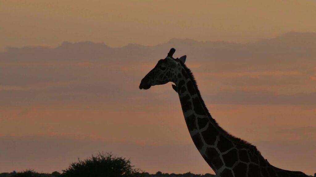 Giraffe silhouetted against an evening sky.