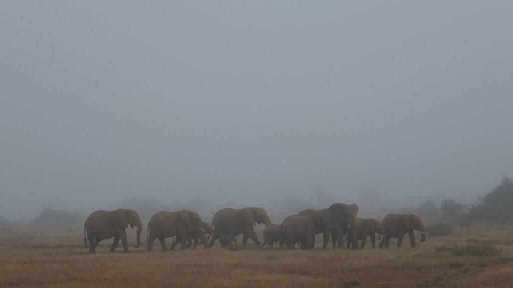 Pod of elephants on a foggy morning in Kenya