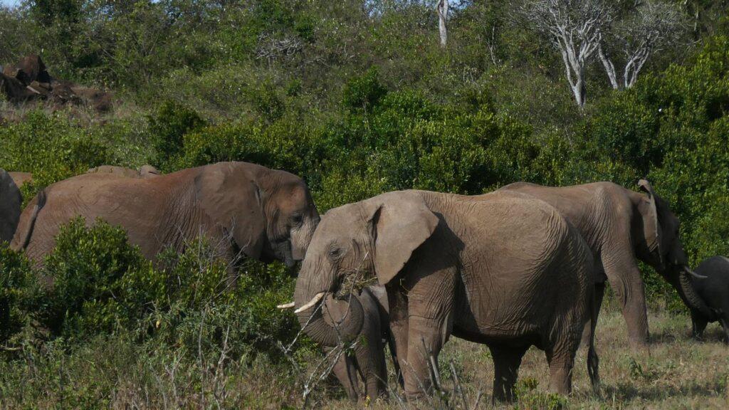 Elephants grazing among trees